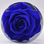 وردة روز طويلة الأمد باللون الأزرق